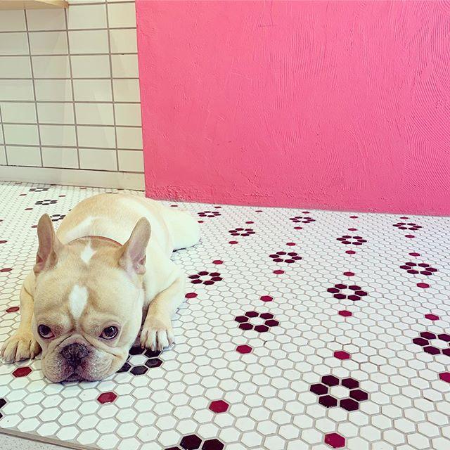 おはようございます!大型連休初日の土曜日、ニマメ店長とお待ちしております♪#フレンチブルドッグ #フレブル #ブヒ #buhi #frenchbulldog #frenchiephotos #dailyfrenchie #frenchbull #dog #大阪 #犬 #niima #niimacafe #niimacafeetsalon #cafe #coffee #ニーマカフェ #ニーマカフェエサロン #南森町 #大阪天満宮 #大阪市北区 #東天満カフェ #カフェスタグラム #大阪カフェ巡り #大阪カフェ #instacafe #coffeestand #coffeeshop